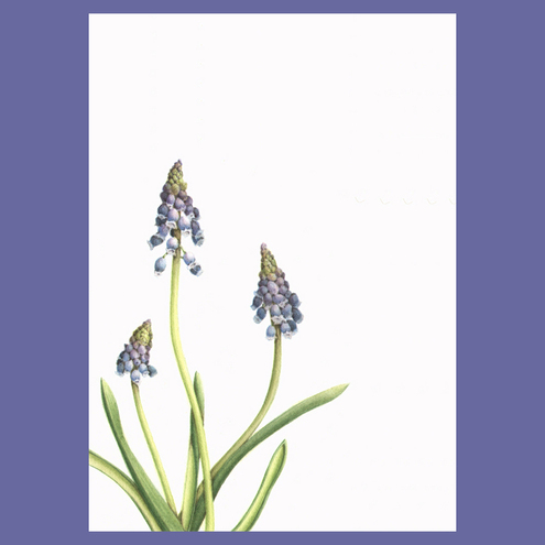The Botanical Concept - Grape Hyacinth Card