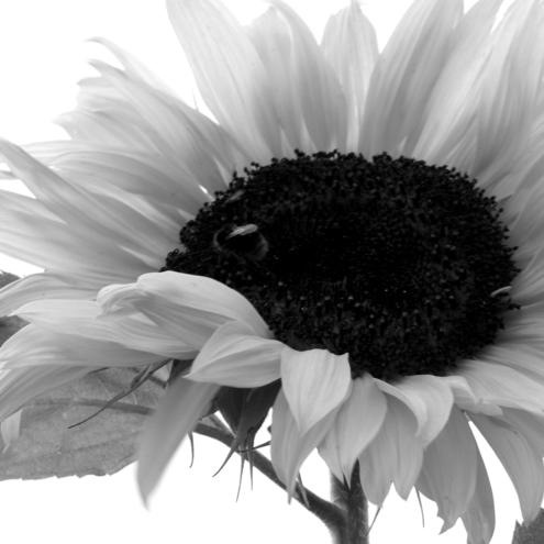 Passionate about Photography, Sunflower £10
