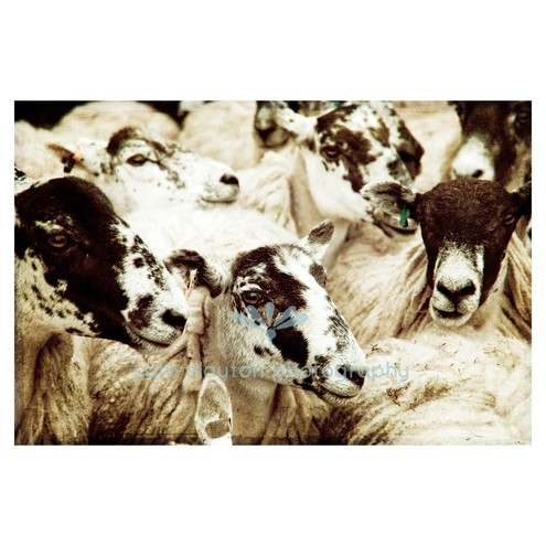 Sam Clayton Photography - sheep
